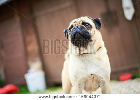 The head of pug puppy closeup. looking away