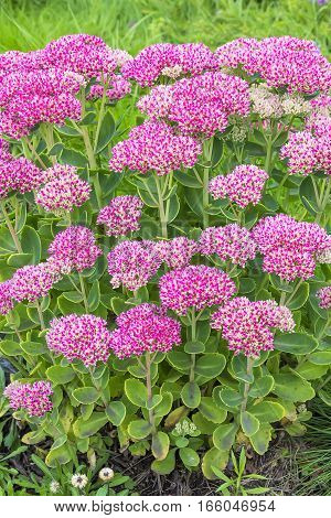 Decorative garden plant Sedum prominent ( lat. Sedum spectabile ). Autumn flowering