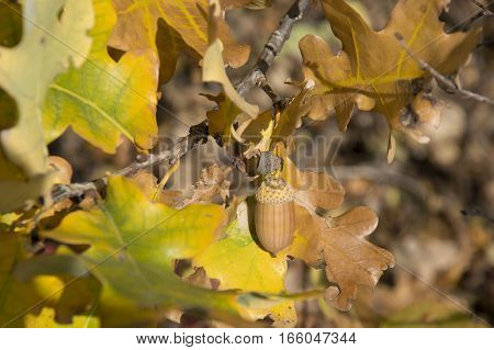 Acorns are in the autumn forest. Gold autumn. Fairy-tale
