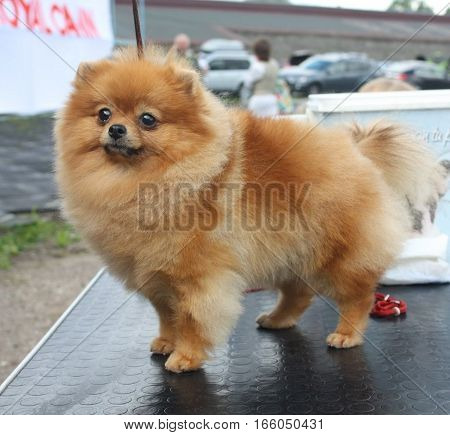 Pets: a beautiful dog breeds Spitz fluffy red color