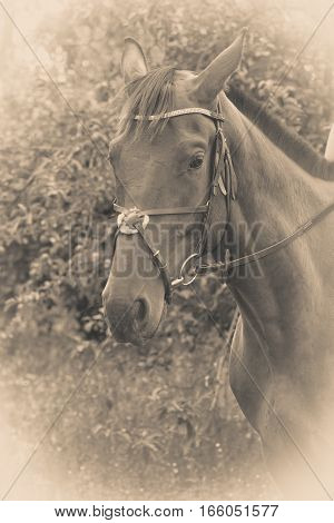 Sepia potrait of arabian dark horse with reins stirrup and headstall. Animals concept.