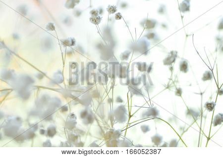 white gypsophila flower in blur background , gypsophila