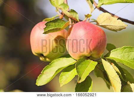 Two red delicious apples hanging from a tree branch in an apple orchard