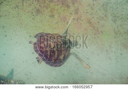 Sea Turtle Swims In The Aquarium. View From Above