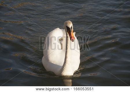 Closeup Front View Portrait Of A Mute Swan Cygnus Olor