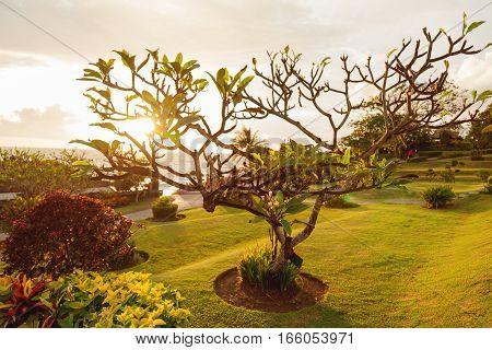 Plumeria tree on seaside near Tanah Lot temple. Bali Indonesia.