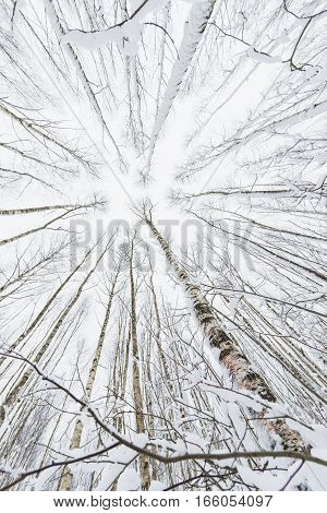 Winter forest. Snowy wood captured with Fish-Eye lens. Bottom view.