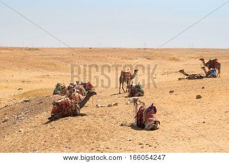 Camels in the Arabian desert. Giza Egypt.