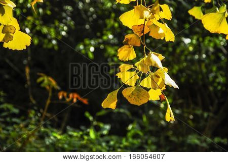 The ginkgo tree leaves closeup in autumn
