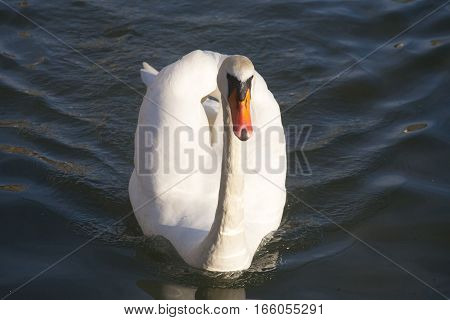 Beautiful Young Mute Swan Cygnus Olor Floating On A Crystal Clear Water Lake