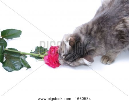 Kitten and a red rose on a white background poster