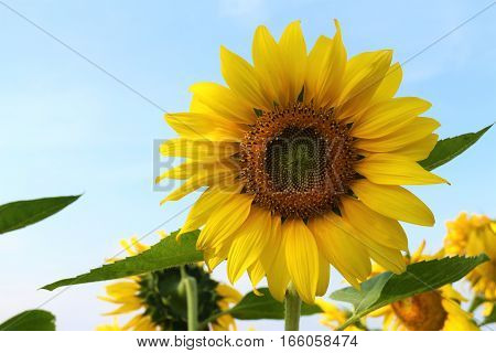 Sunflower field. Sunflower with blue sky and clouds. Summer background, bright yellow sunflower over blue sky. Landscape with sunflower field over cloudy blue sky.