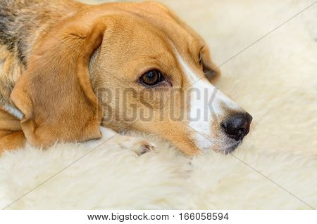 Cute Beagle dog lying on the white carpet at home
