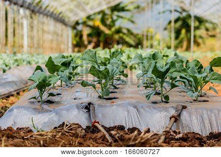 fresh green Chinese kale vegetable in garden