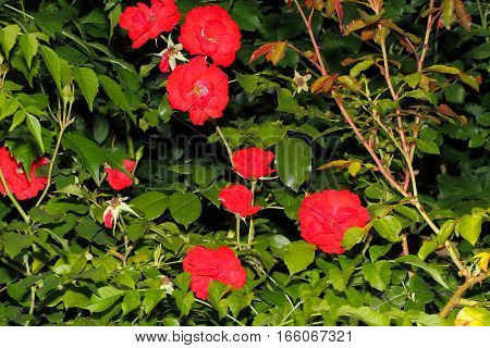 Blooming roses (Rosa) in a garden in summer