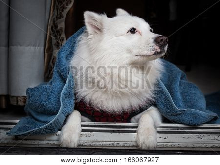 White German spitz dog covered in a blue blanket to keep warm sitting near a doorway.