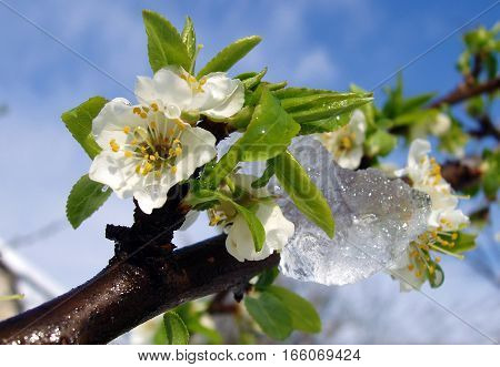Fresh cherry flowers with crystals of ice in the spring after a surprise snowfall