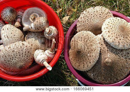 Wild parasol mushrooms (Macrolepiota procera or Lepiota procera) in plastic buckets