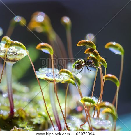 Moss and ant in drops of morning dew. The Nature Of Siberia