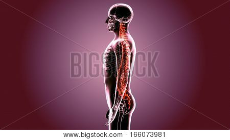 Save Download Preview 3D Illustration of Human Skeleton with Nervous System Anatomy