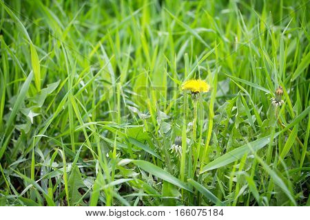Blooming Dandelion In Bright Green Grass Spring Background. Green Grass Background Texture. Selectiv