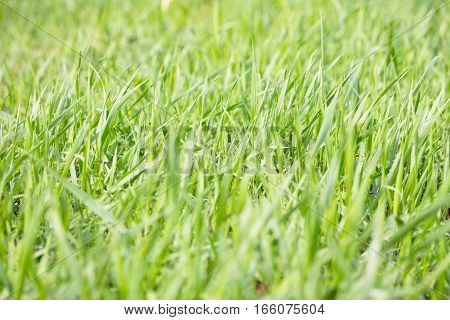 Bright Green Grass Background Spring. Green Grass Background Texture. Selective Focus.