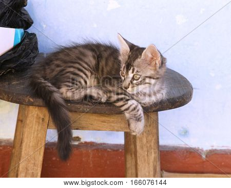Grey tabby kitten relaxing on wooden stool in Peru