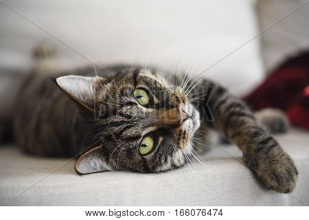 tabby cat lies relaxed on the sofa and looks attentively at the camera waiting for playing selected focus narrow depth of field