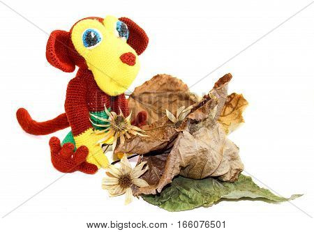 monkey sitting in front of dried up a huge crumpled brown with golden and green-veined leaves of poplar