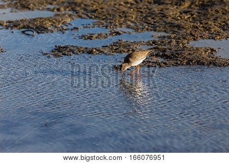 Redshank (tringa Totanus) , In Wetlands In Kalohori In North Greece