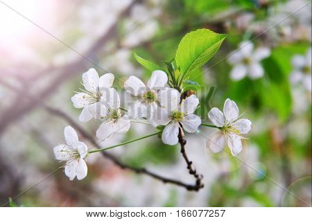 Close-up White Flowers Of A Cherry Tree