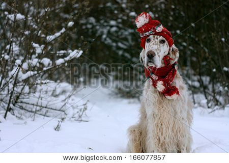 Adorable spotty furry white dog sitting on white christmas background, wearing red hat and scarf, fashinable look