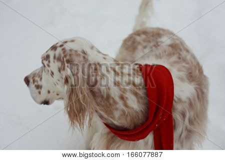 White big purebred dog of hunting breed English setter wearing red scarf on white winter snow background, bright pointing dog with brown spots