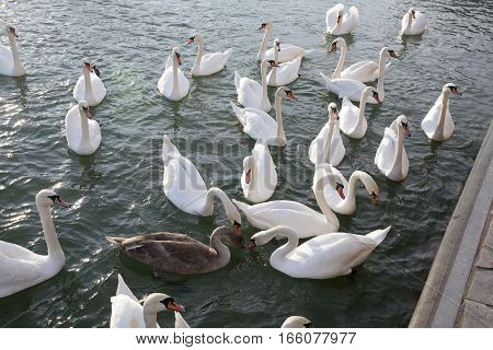 Plan View From White Swans Cygnus Olor
