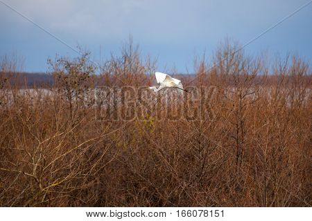 White Crane flying above trees in winter.