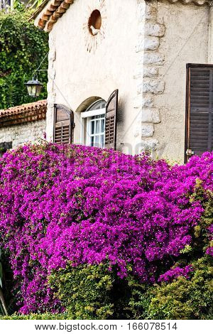 Historic European Architecture with large blooming Bougainvillea bush