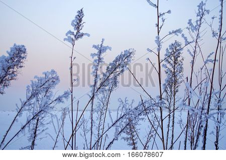 Plants in the snow in winter close-up as background