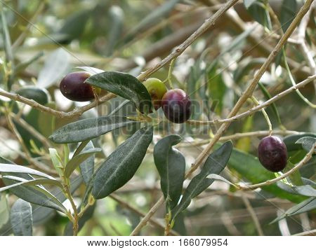 Close-up of Green and Purple Olives on the Olive Trees at the Mountainside of Greece