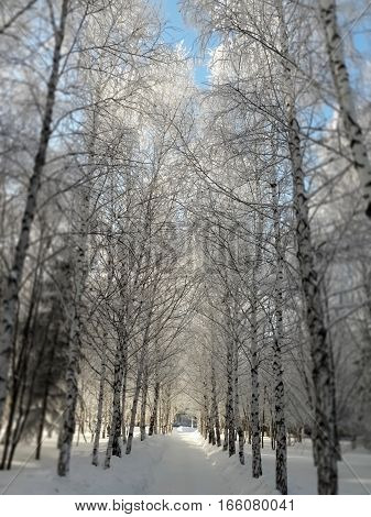 Snowy path between white birch trees on a clear winter day