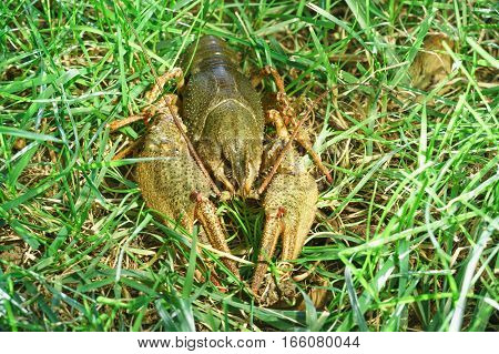 Shirokopalyj crayfish (lat. Astacus astacus) is a species of decapod crustacean of the infraorder Astacidea - on the green grass