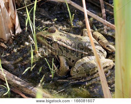 Rio Grande Leopard Frog - Rana berlandieri