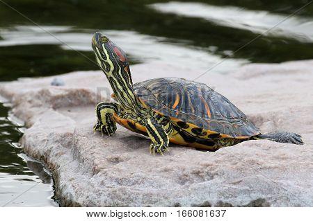 Red-eared Slider Turtle - Trachemys scripta elegans