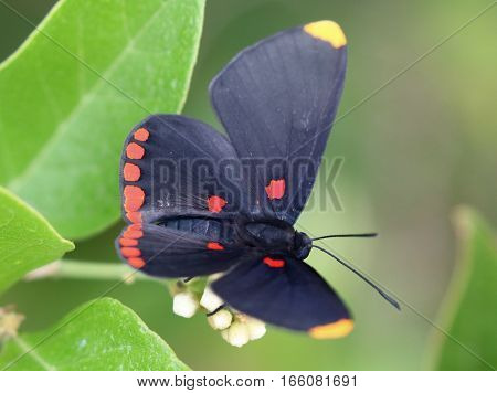 A Red-bordered Pixie Butterfly (Melanis pixe) feeding