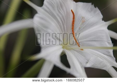white sheath flower in summer at malang