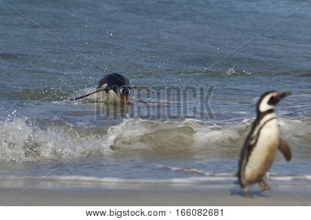 Gentoo Penguin (Pygoscelis papua) leaping through the water as it comes ashore on a sandy beach on Bleaker Island in the Falkland Islands.