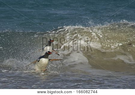 Gentoo Penguin (Pygoscelis papua) coming ashore on a sandy beach on Bleaker Island in the Falkland Islands.
