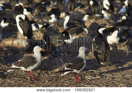 Dolphin Gulls (Leucophaeus scoresbii) scavenging around the edge of a large nesting colony of Imperial Shag (Phalacrocorax atriceps albiventer) on Bleaker Island in the Falkland Islands