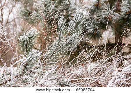 Pine branches in the frost. Winter natural background of branches of pine with layer of hoar-frost . Christmas evergreen spruce tree with fresh snow. Fir-tree branches of conifer tree.
