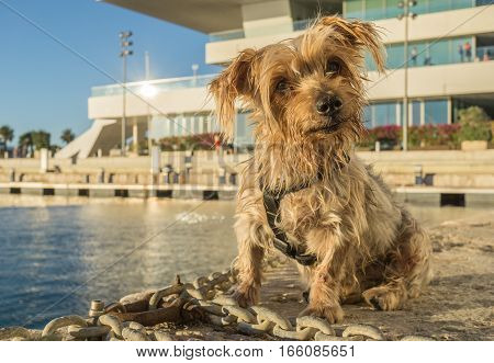 Expressive dog seated. Doggy with curiosity expression doggie tilting his head and raising his ears. Yorkshire Terrier brown dog warm in the sun. Blurry background of a harbor and the sea