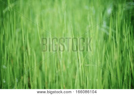 Green grass field suitable for backgrounds or wallpapers, natural seasonal landscape.